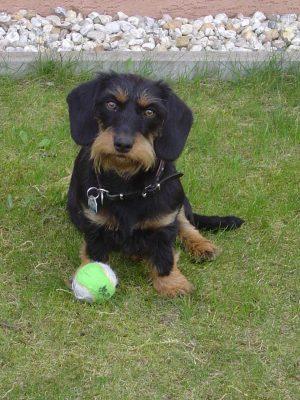 Dackel mit Tennisball