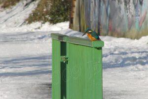 Eisvogel Begegnung an der Ruhr