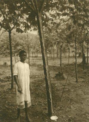 Probeanzapfung eines 1 1/4 jährigen Manihot Baumes, Afrika