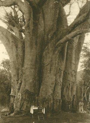 Affenbrotbaum, Afrika