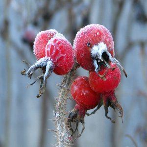 Hagebuten, vom Frost überrascht