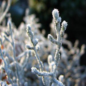 Eiskristalle an einem Strauch