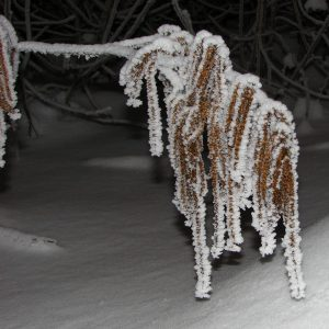 Mit Schnee beladener Zierstrauch