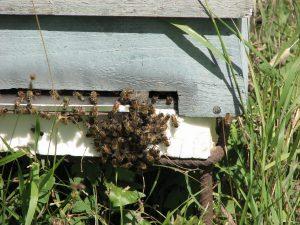 Großer Andrang am Bienenstock