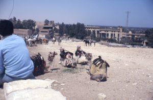 Kamele in Gizeh